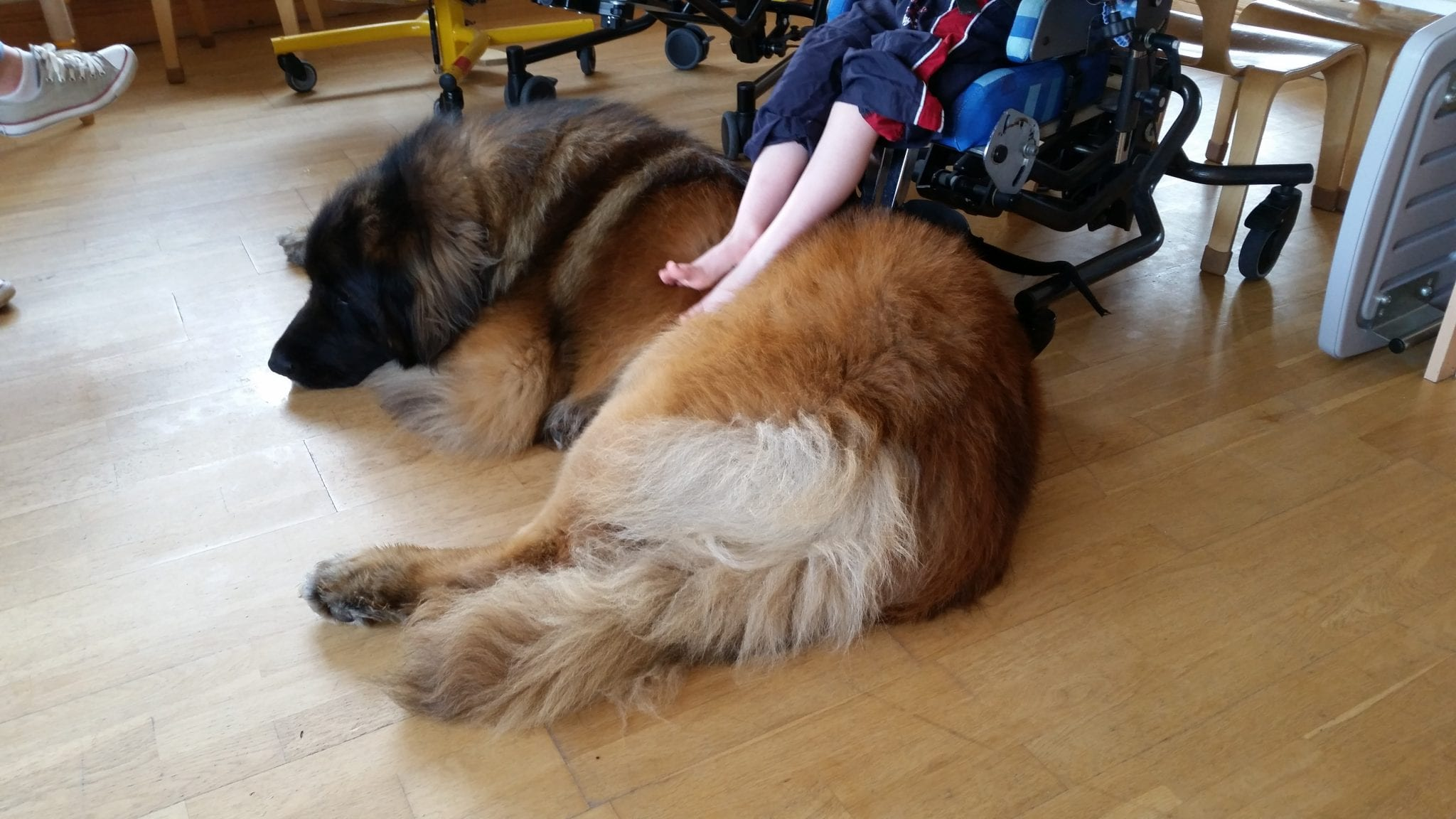 Therapy Dog Training Chandler